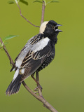 Bobolink (Dolichonyx Oryzivorus) Singing from a Branch, Ontario, Canada Reproduction photographique par Glenn Bartley