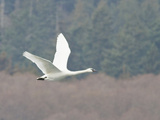 Trumpeter Swan (Cygnus Buccinator) Flying, Victoria, BC, Canada Photographic Print by Glenn Bartley