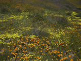 California Poppy, Tansy, and Yellow Coreopsis Spring Wildflowers Photographic Print by David Cobb