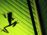 Red-Eyed Tree Frog Silhouette Through a Leaf (Agalychnis Callidryas), Costa Rica Photographic Print by Gregory Basco