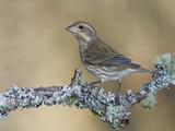 Purple Finch (Carpodacus Purpureus) Perched on a Branch, Victoria, British Columbia, Canada Photographic Print by Glenn Bartley