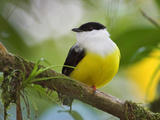 White-Collared Manakin, Costa Rica Photographic Print by Glenn Bartley