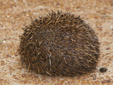 South African Hedgehog (Atelerix Frontalis) in its Coiled Protective Posture, South Africa Photographic Print by John Abbott