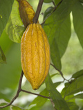 Cacao Tree Pod (Theobroma Cacao) the Seeds of Which are Used to Make Chocolate, Kerala, India Photographic Print by Hal Beral