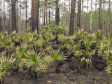 Saw Palmetto (Serenoa Repens) after Fire in a Slash Pine Forest (Pinus Elliottii) Photographic Print by John Arnaldi