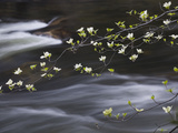 Dogwoods Flowering Along the Merced River in Yosemite Valley in the Spring, California, USA Photographic Print by Sean Bagshaw
