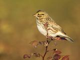 Savannah Sparrow (Passerculus Sandwichensis), Victoria, British Columbia, Canada Photographic Print by Glenn Bartley