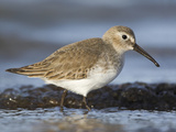 Dunlin (Calidris Alpina) Feeding Along the Shoreline in Victoria, British Columbia, Canada Photographic Print by Glenn Bartley