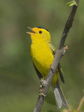 Wilson's Warbler (Wilsonia Pusilla) Singing from a Branch in Victoria, British Columbia, Canada Photographic Print by Glenn Bartley
