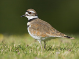 Killdeer (Charadrius Vociferus) in the Grass in Victoria, British Columbia, Canada Photographic Print by Glenn Bartley