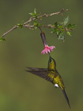 Saphire-Vented Puffleg (Eriocnemis Luciani) Hovering and Feeding at a Flower Photographic Print by Glenn Bartley
