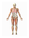 Illustration of a Man Showing the Respiratory, Muscular, Digestive, and Skeletal Systems Giclee Print by Scott Camazine