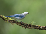 Blue-Gray Tanager (Thraupis Episcopus) on Cloud Forest Branch Photographic Print by Gregory Basco