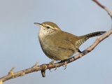Bewick's Wren (Thryomanes Bewickii) Perched on a Branch in Victoria, British Columbia, Canada Photographic Print by Glenn Bartley