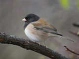 A Dark-Eyed Junco (Junco Hyemalis) Perches on a Branch in Victoria, British Columbia, Canada Photographic Print by Glenn Bartley
