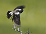 Bobolink (Dolichonyx Oryzivorus) Flying Off a Branch, Ontario, Canada Photographic Print by Glenn Bartley