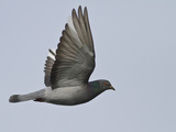 Rock Dove (Columba Livia) Flying, Victoria, BC, Canada Photographic Print by Glenn Bartley