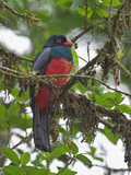 Slaty-Tailed Trogon Male, Costa Rica Photographic Print by Glenn Bartley
