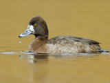 Female Lesser Scaup (Aythya Affinis) Swimming on a Pond, Victoria, BC, Canada Photographic Print by Glenn Bartley