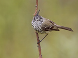 Tufted Tit-Tyrant (Anairetes Parulus) Perched, Ecuador Photographic Print by Glenn Bartley