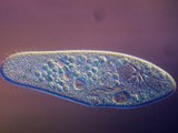 Living Paramecium Caudatum Ciliate Protozoa with Contractile Vacuoles, LM X110 Photographic Print by Michael Abbey