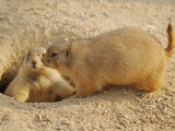 Black-Tailed Prairie Dog (Cynomys Ludovicianus), Captive Photographic Print by Walt Anderson