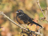 Spotted Towhee (Pipilo Maculatus), Victoria, British Columbia, Canada Photographic Print by Glenn Bartley