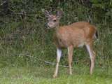 Black-Tailed Deer, Canada Photographic Print by Glenn Bartley
