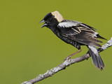 Bobolink (Dolichonyx Oryzivorus) Singing on a Branch, Ontario, Canada Reproduction photographique par Glenn Bartley