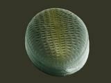 The Pennate Diatom, Cocconeis Placentula, SEM X17,000 Photographic Print by Howard Berg