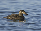 Surf Scoter (Melanitta Perspicillata) Swimming in the Ocean, Victoria, British Columbia, Canada Photographic Print by Glenn Bartley