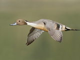 Northern Pintail (Anas Acuta) Flying, Victoria, BC, Canada Photographic Print by Glenn Bartley