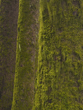 Close Up of Mossy Sitka Spruce Tree Trunks, Oregon, USA (Picea Sitchesis) Photographic Print by David Cobb