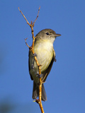 Bell's Vireo (Vireo Bellii), Big Bend National Park, Texas, USA Reproduction photographique par John Abbott