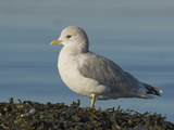 Mew Gull (Larus Canus), Victoria, British Columbia, Canada Photographic Print by Glenn Bartley