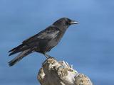 Northwestern Crow (Corvus Caurinus) in Victoria, British Columbia, Canada Photographic Print by Glenn Bartley