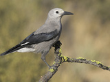 Clark's Nutcracker (Nucifraga Columbiana) Perched on a Branch in Oregon, USA Photographic Print by Glenn Bartley