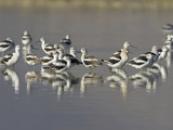 American Avocets (Recurvirostra Americana) Wading in the Water of a Shallow Pond in Alberta Reproduction photographique par Glenn Bartley