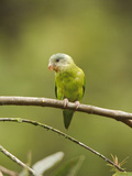 Gray-Cheeked Parakeet (Brotogeris Pyrrhopterus) Perched on a Branch at Buenaventura Lodge Photographic Print by Glenn Bartley