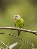 Gray-Cheeked Parakeet (Brotogeris Pyrrhopterus) Perched on a Branch at Buenaventura Lodge Photographic Print by Glenn Bartley