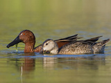 Cinnamon Teal Pair (Anas Cyanoptera) Swimming in a Pond in Houston, Texas, USA Photographic Print by Glenn Bartley