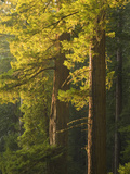 Redwood Forest, Redwood National Park, California, USA (Sequoia Sempervirens) Photographic Print by David Cobb