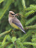Cedar Waxwing (Bombycilla Cedrorum) with Nest Material in its Mouth, Pennsylvania, USA Photographic Print by John Abbott