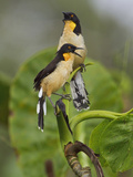 Black-Capped Donacobius (Donacobius Atricapillus) Perched on a Branch Photographic Print by Glenn Bartley