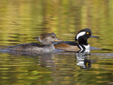 Hooded Merganser Pair (Lophodytes Cucullatus) Swimming on a Pond in Victoria, British Columbia Photographic Print by Glenn Bartley