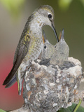 Female Anna's Hummingbird (Calypte Anna) Feeding Her Chicks in their Tiny Nest, Irvine Photographic Print by Hal Beral