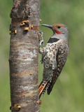 Northern Flicker (Colaptes Auratus) Perched on a Tree Trunk, Victoria, British Columbia, Canada Photographic Print by Glenn Bartley