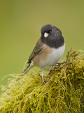 Dark-Eyed Junco (Junco Hyemalis) Perched on a Branch, Victoria, BC, Canada Reproduction photographique par Glenn Bartley