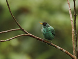 Green Honeycreeper (Chlorophanes Spiza) Perched on a Branch, Milpe Reserve, Ecuador Photographic Print by Glenn Bartley