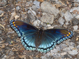 White Admiral or Red-Spotted Purple (Limenitis Arthemis), Maryland, USA Photographic Print by John Abbott